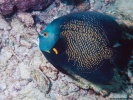 French Angelfish Fish wallpaper
