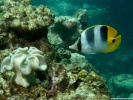 Pacific Double Saddle Butterflyfish Fish wallpaper